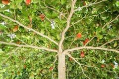 Zielony drzewo z rozszerzaniem się rozgałęzia się teksturę Obrazy Stock