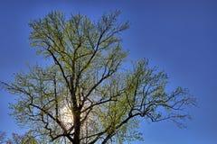 Zielony drzewo z słońcem zaświecał backlight i niebieskie niebo fotografia stock