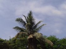 Zielony duży drzewko palmowe z jasnym niebieskiego nieba tłem Fotografia Stock
