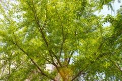 Zielony duży ginkgo drzewo Fotografia Royalty Free