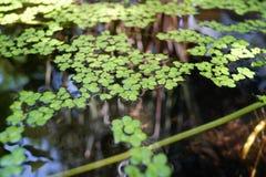 Zielony duckweed naturalny na wodzie Zdjęcia Stock