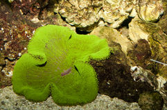 Zielony Dywanowy anemon obraz royalty free