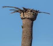 Zielony dzięcioł na nieżywym drzewku palmowym Zdjęcia Stock