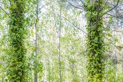 Zielony dziki bluszcz Zdjęcie Royalty Free