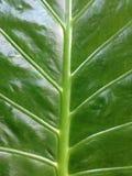 zielony żebra Obraz Stock