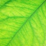 zielony żebra Zdjęcie Royalty Free