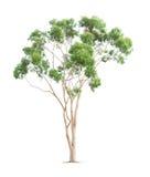 Zielony eukaliptusowy drzewo Fotografia Stock