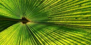 Zielony fan palmowy liść dla tło tekstury Fotografia Stock