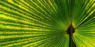 Zielony fan palmowy liść dla tło tekstury Obraz Stock