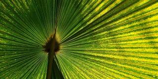 Zielony fan palmowy liść dla tło tekstury Obraz Royalty Free