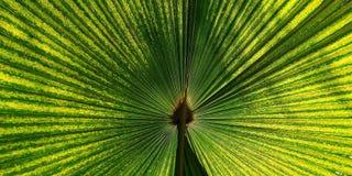 Zielony fan palmowy liść dla tło tekstury Zdjęcia Stock