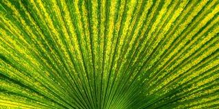 Zielony fan palmowy liść dla tło tekstury Obrazy Stock