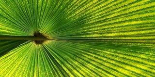 Zielony fan palmowy liść dla tło tekstury Zdjęcia Royalty Free