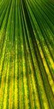 Zielony fan palmowy liść dla tło tekstury Obrazy Royalty Free