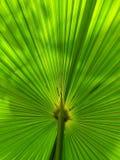 Zielony fan palmowy liść dla tło tekstury Zdjęcie Stock