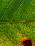 Zielony fan rośliny liść dla tło tekstury Zdjęcie Royalty Free