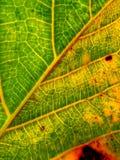Zielony fan rośliny liść dla tło tekstury Obrazy Royalty Free
