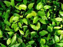 Zielony fan rośliny liść dla tło tekstury Fotografia Stock