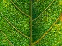 Zielony fan rośliny liść dla tło tekstury Zdjęcia Royalty Free