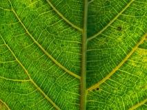 Zielony fan rośliny liść dla tło tekstury Obrazy Stock