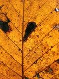 Zielony fan rośliny liść dla tło tekstury Fotografia Royalty Free