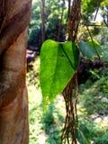 Zielony fan rośliny liść dla tło tekstury Obraz Royalty Free