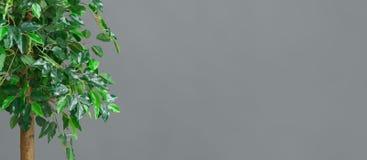 Zielony ficus drzewo nad popielatym tłem, opróżnia przestrzeń obrazy stock