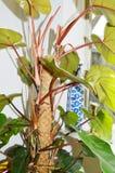 Zielony filodendron Obraz Stock