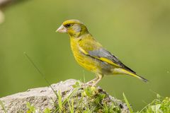 Zielony Finch, Chloris chloris fotografia stock