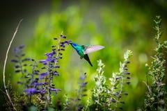 Zielony Fiołkowy Słyszący Hummingbird Zdjęcie Royalty Free