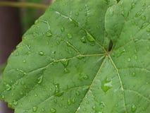 Zielony frond winogrono - raindrop Zdjęcie Stock