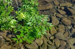 Zielony gałęziasty unosić się w wodzie Obrazy Royalty Free