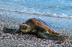 zielony Galapagos żółw Zdjęcia Royalty Free