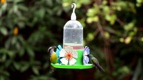 Zielony gardła Hummingbird zbiory wideo