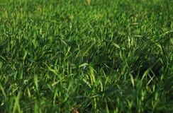 Zielony gazon, trawa w wio?nie fotografia stock