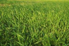 Zielony gazon, trawa w wio?nie fotografia royalty free