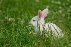 zielony gazonu królika biel Obraz Royalty Free