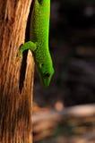 Zielony Geco obrazy stock