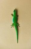 Zielony gekon obrazy stock