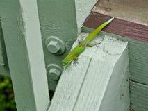 Zielony gekon Hawaje zdjęcie royalty free