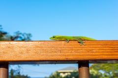 Zielony gekon na drewnianym poręczu zdjęcia stock