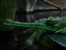 Zielony Gharial Obrazy Royalty Free