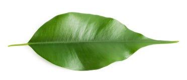 Zielony gorący pomarańczowy liść Fotografia Stock