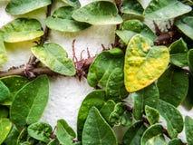 zielony graniczny liścia Fotografia Royalty Free