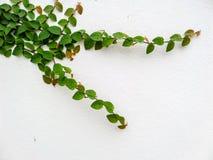 zielony graniczny liścia Obrazy Stock