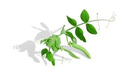 zielony grochów strąków badyl obrazy royalty free