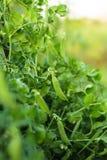 zielony groch Obrazy Royalty Free