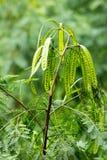 Zielony groch jak liście na drzewie, Bangkok Obrazy Stock