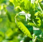 zielony grochowy kapsuła Zdjęcia Stock