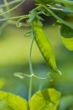 Zielony grochowy strąk. Zdjęcie Royalty Free